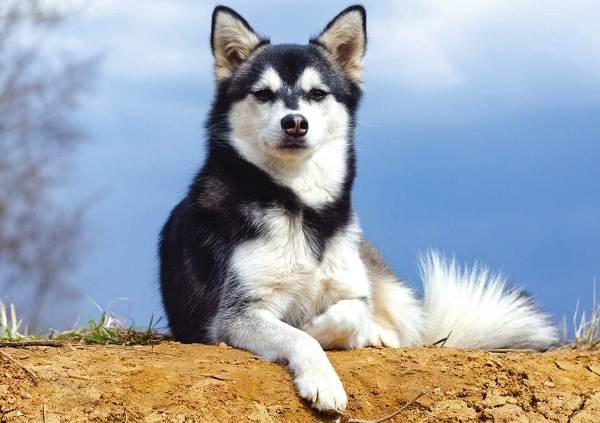 Аляскинский-кли-кай-собака-Описание-особенности-цена-уход-и-содержание-породы-3