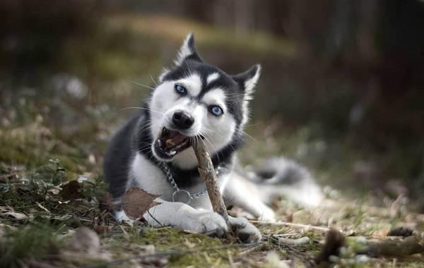 Аляскинский-кли-кай-собака-Описание-особенности-цена-уход-и-содержание-породы-4