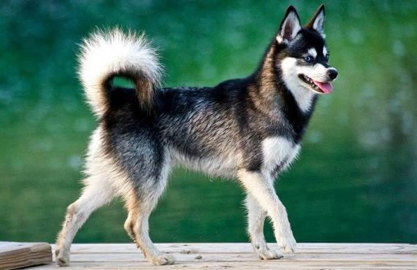 Аляскинский-кли-кай-собака-Описание-особенности-цена-уход-и-содержание-породы-6
