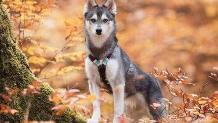 Аляскинский кли кай собака. Описание, особенности, цена, уход и содержание породы