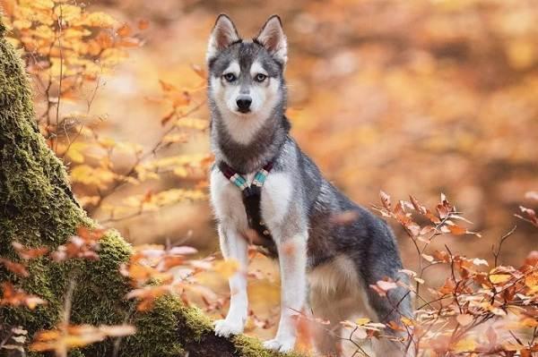 Аляскинский-кли-кай-собака-Описание-особенности-цена-уход-и-содержание-породы-7