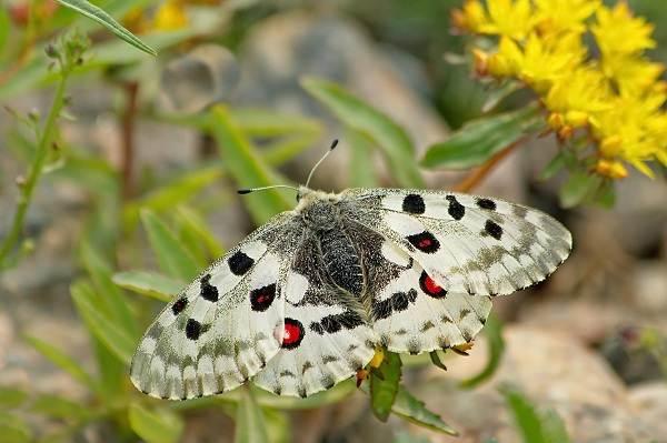 Бабочка-Аполлон-насекомое-Описание-особенности-виды-и-среда-обитания-1