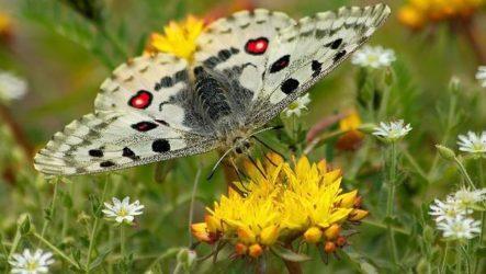 Бабочка Аполлон насекомое. Описание, особенности, виды и среда обитания
