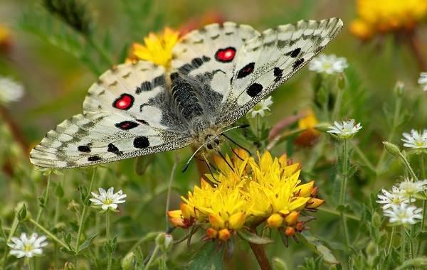 Бабочка-Аполлон-насекомое-Описание-особенности-виды-и-среда-обитания-2