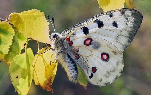 Бабочка-Аполлон-насекомое-Описание-особенности-виды-и-среда-обитания-3