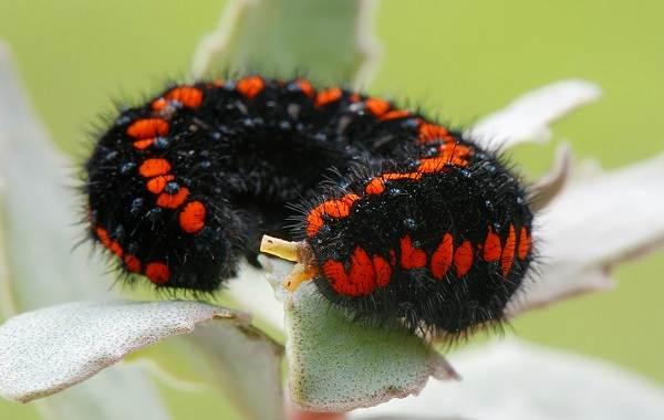 Бабочка-Аполлон-насекомое-Описание-особенности-виды-и-среда-обитания-4