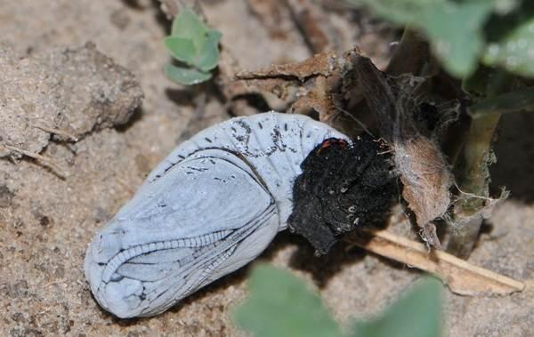 Бабочка-Аполлон-насекомое-Описание-особенности-виды-и-среда-обитания-5