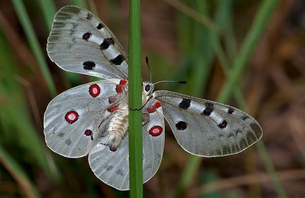 Бабочка-Аполлон-насекомое-Описание-особенности-виды-и-среда-обитания-6