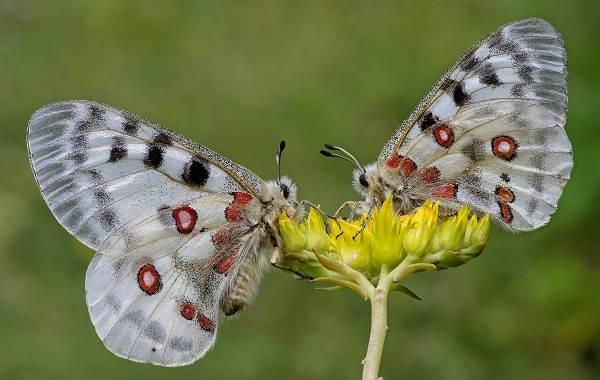 Бабочка-Аполлон-насекомое-Описание-особенности-виды-и-среда-обитания-7