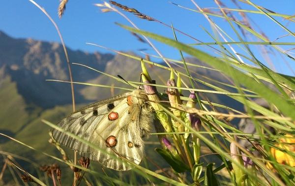 Бабочка-Аполлон-насекомое-Описание-особенности-виды-и-среда-обитания-9