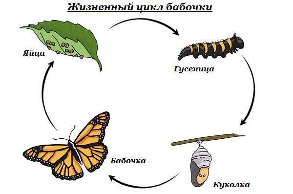 Бабочка-Аполлон-насекомое-Описание-особенности-виды-и-среда-обитания