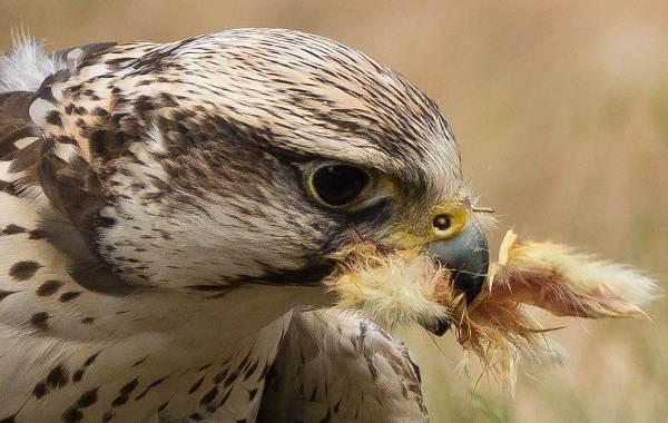 Балобан-птица-Описание-особенности-виды-образ-жизни-и-среда-обитания-балобана-1
