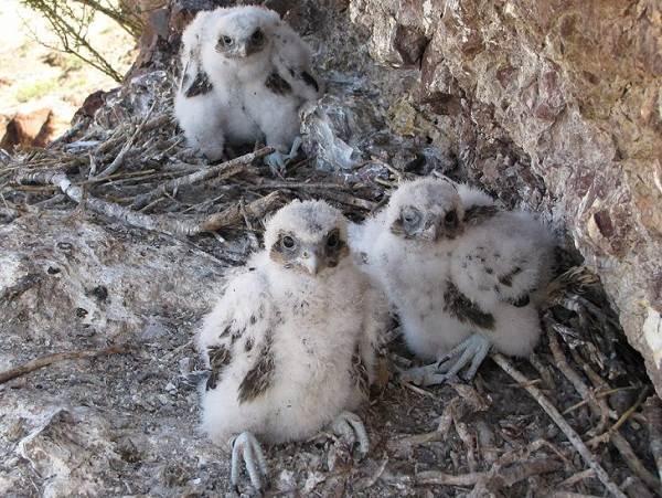 Балобан-птица-Описание-особенности-виды-образ-жизни-и-среда-обитания-балобана-10