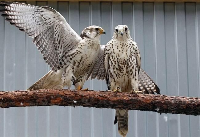 Балобан-птица-Описание-особенности-виды-образ-жизни-и-среда-обитания-балобана-11