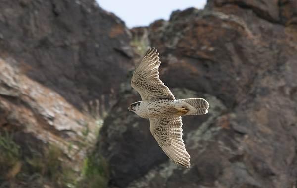 Балобан-птица-Описание-особенности-виды-образ-жизни-и-среда-обитания-балобана-2