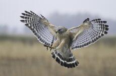 Балобан птица. Описание, особенности, виды, образ жизни и среда обитания балобана