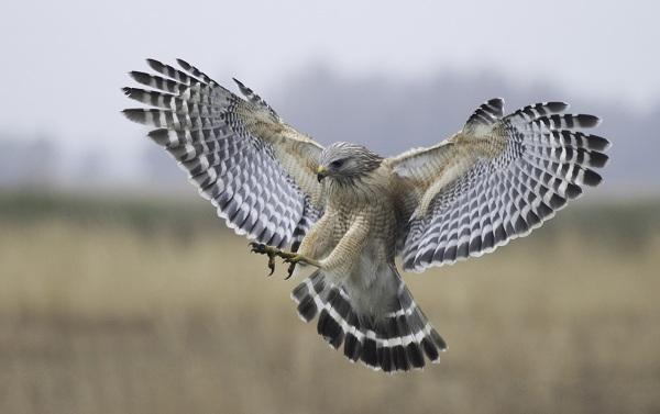 Балобан-птица-Описание-особенности-виды-образ-жизни-и-среда-обитания-балобана-21