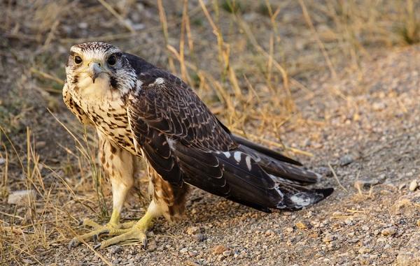 Балобан-птица-Описание-особенности-виды-образ-жизни-и-среда-обитания-балобана-22