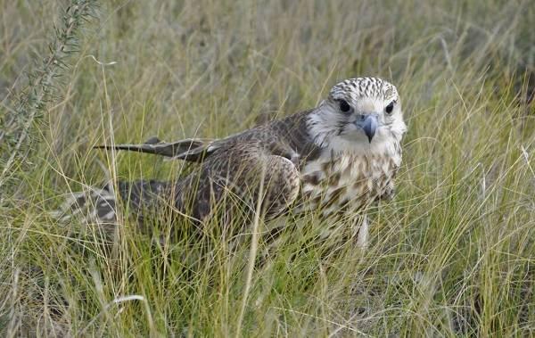 Балобан-птица-Описание-особенности-виды-образ-жизни-и-среда-обитания-балобана-3