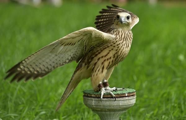 Балобан-птица-Описание-особенности-виды-образ-жизни-и-среда-обитания-балобана-5
