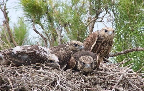 Балобан-птица-Описание-особенности-виды-образ-жизни-и-среда-обитания-балобана-9