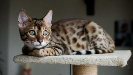Бенгальская кошка. Описание, особенности, виды, уход и содержание породы