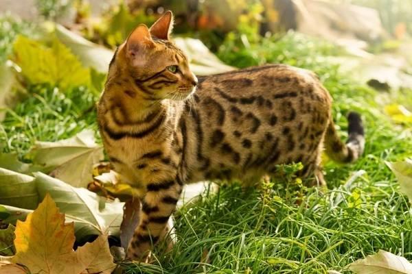Бенгальская-кошка-Описание-особенности-виды-уход-и-содержание-породы-10