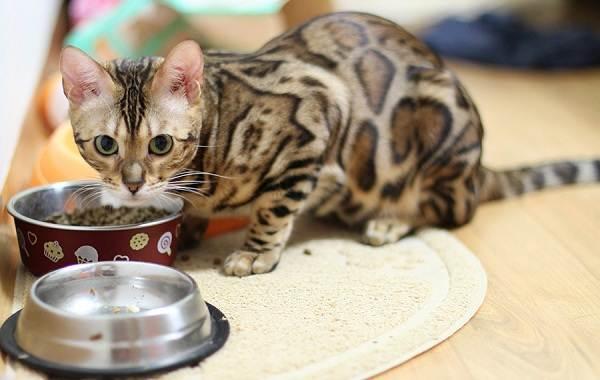 Бенгальская-кошка-Описание-особенности-виды-уход-и-содержание-породы-11