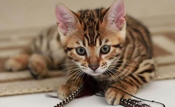 Бенгальская-кошка-Описание-особенности-виды-уход-и-содержание-породы-12