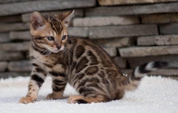 Бенгальская-кошка-Описание-особенности-виды-уход-и-содержание-породы-13