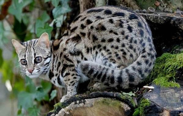 Бенгальская-кошка-Описание-особенности-виды-уход-и-содержание-породы-2