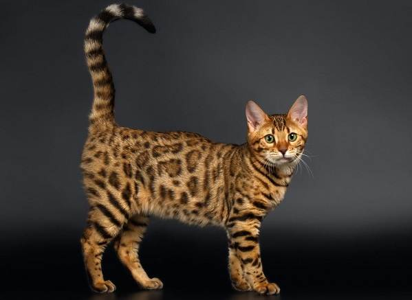 Бенгальская-кошка-Описание-особенности-виды-уход-и-содержание-породы-3