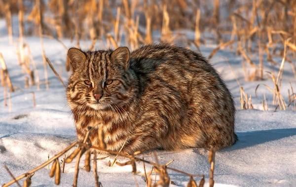 Бенгальская-кошка-Описание-особенности-виды-уход-и-содержание-породы-4