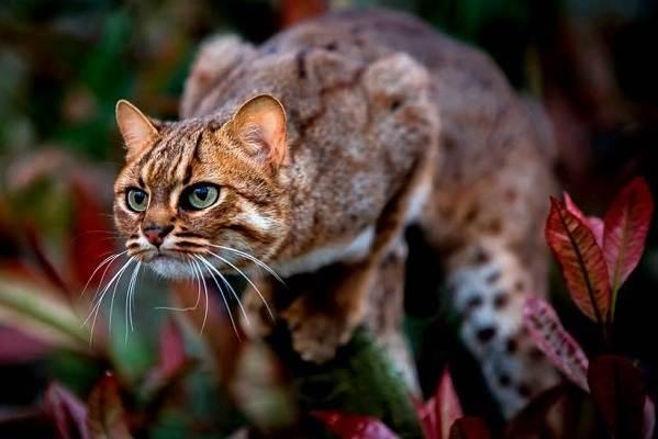 Бенгальская-кошка-Описание-особенности-виды-уход-и-содержание-породы-5