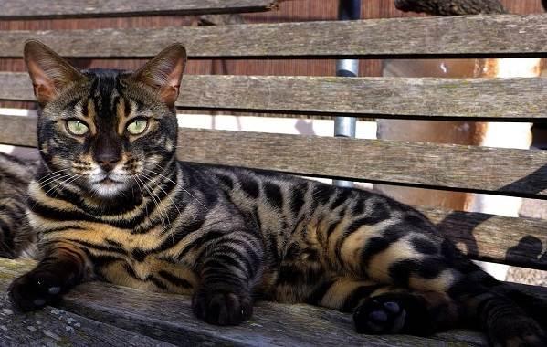 Бенгальская-кошка-Описание-особенности-виды-уход-и-содержание-породы-6