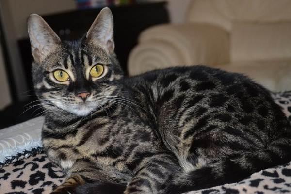 Бенгальская-кошка-Описание-особенности-виды-уход-и-содержание-породы-7