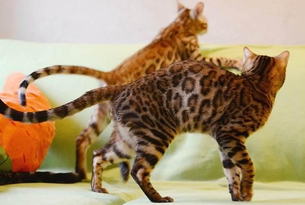 Бенгальская-кошка-Описание-особенности-виды-уход-и-содержание-породы-8