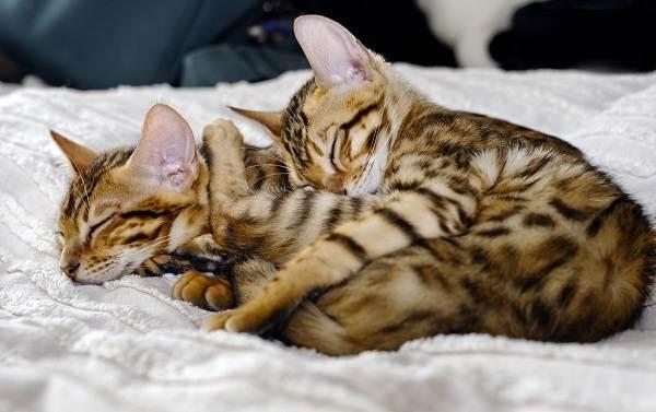 Бенгальская-кошка-Описание-особенности-виды-уход-и-содержание-породы-9