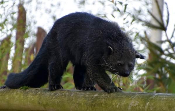 Бинтуронг-животное-Описание-особенности-образ-жизни-и-среда-обитания-бинтуронга-1
