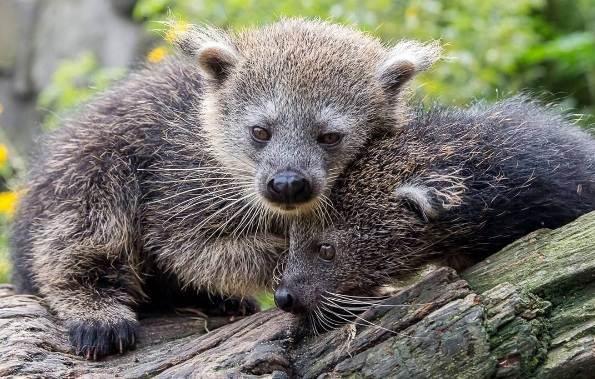 Бинтуронг-животное-Описание-особенности-образ-жизни-и-среда-обитания-бинтуронга-10