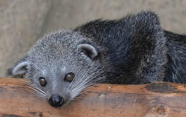 Бинтуронг-животное-Описание-особенности-образ-жизни-и-среда-обитания-бинтуронга-2