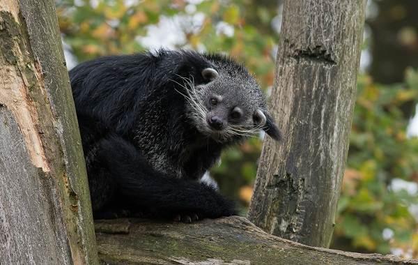 Бинтуронг-животное-Описание-особенности-образ-жизни-и-среда-обитания-бинтуронга-3