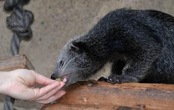 Бинтуронг-животное-Описание-особенности-образ-жизни-и-среда-обитания-бинтуронга-4