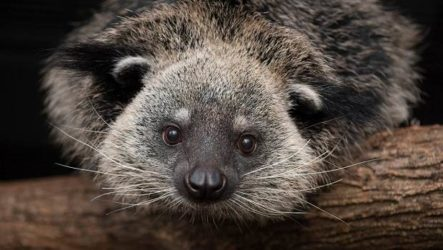 Бинтуронг животное. Описание, особенности, образ жизни и среда обитания бинтуронга