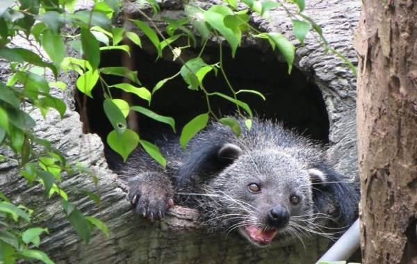 Бинтуронг-животное-Описание-особенности-образ-жизни-и-среда-обитания-бинтуронга-7