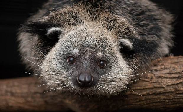 Бинтуронг-животное-Описание-особенности-образ-жизни-и-среда-обитания-бинтуронга
