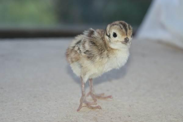 Фазан-птица-Описание-особенности-виды-образ-жизни-и-среда-обитания-фазана-15
