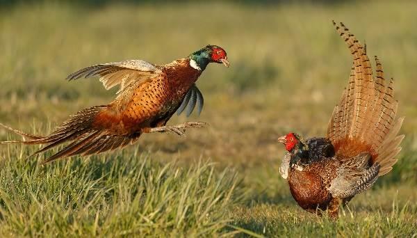 Фазан-птица-Описание-особенности-виды-образ-жизни-и-среда-обитания-фазана-2
