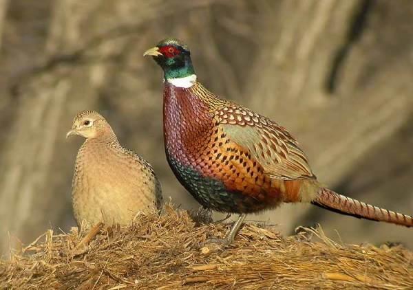 Фазан-птица-Описание-особенности-виды-образ-жизни-и-среда-обитания-фазана-5