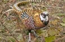Фазан птица. Описание, особенности, виды, образ жизни и среда обитания фазана